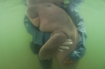 Marium, a baby dugong found near Ko Libong in Thailand in May 2019. Biologists said the 8-month-old had ingested plastic waste.