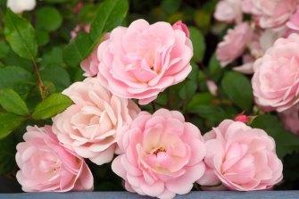 The Alister Clark 'Felix' rose.
