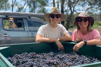 Mijan Patterson and Livia Maiorana hard at work on their 2020 vintage with their dog Meeka.