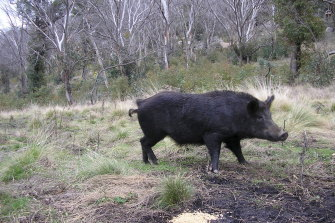 An Australian feral pig