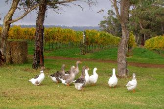 Duke's Vineyard in Western Australia's Great Southern.