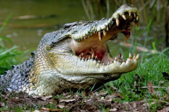 Crocodiles now have teeth designed to rip and tear.