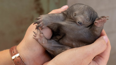 A three-month-old puggle fits in the palm of zookeeper Imogen Palmer's hand.
