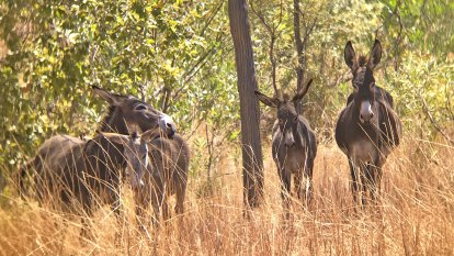 Can wild asses stop bushfires? Sydney scientists unite with Kimberley farmer to stop donkey kill order