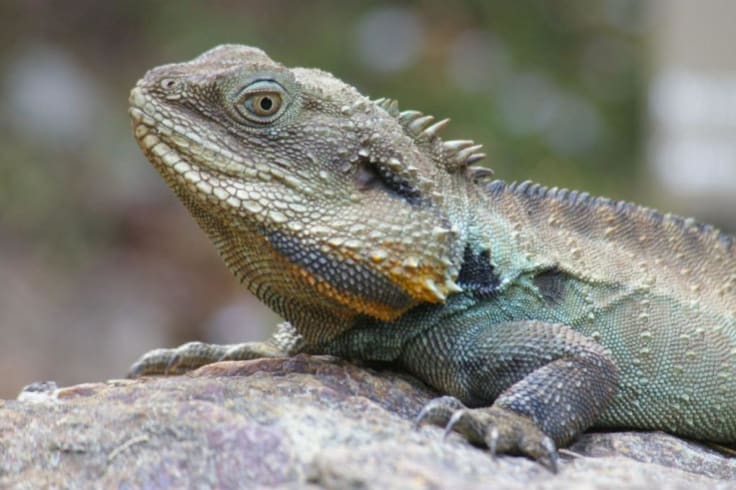 Spotting water dragons will keep the kids entertained for hours at the National Botanic Gardens.