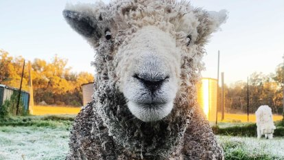 Monty the ram shrugs off ba-ba-backyard frost on chilly Queensland morning