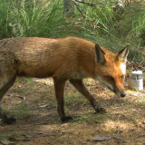 A fox can dig 30 cm under netting - and will - and sometimes climb it too.