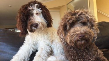 The Forbes' labradoodles - Harvey (left) and Bear (right).