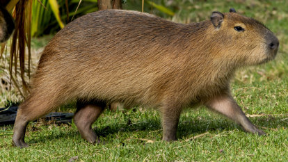 Constant side-eye: world's largest rodent finds new home at Taronga Zoo