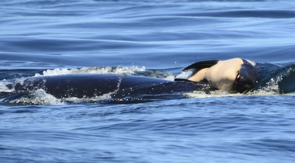 Orca abandons her dead calf after 17 days and 1600 kilometres