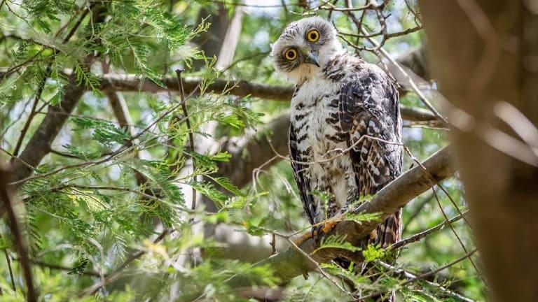A Powerful Owl.