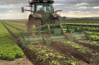 A tractor at Hussey & Co farms in Victoria ploughs vegetables back into the soil.