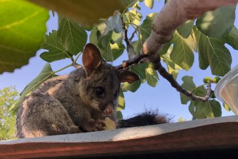 A possum enjoys a peach on a hot day.