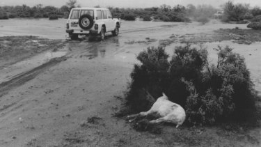 """But the sudden cold snap was killing freshly-shorn sheep..."" Broken Hill, March 14, 1989"