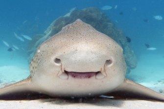 A leopard shark in Exmouth Gulf.