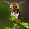 Webster spends $8m on bees to reduce the sting of almond production
