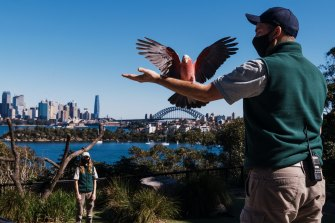 Bird keepers Jaqueline King and Brendan Host with Jasper the galah earlier this year with Sydney Harbour in the background, a far cry from 1916 when animals were moved from Moore Park to Taronga without using the Sydney Harbour Bridge, which opened 16 years later.