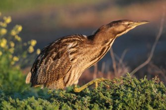 The shy Australasian bittern is found in 30 towns and cities and yet its numbers may be down to just the hundreds.