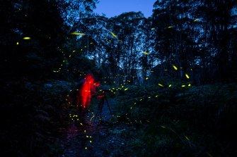 Blue Mountains Fireflies blink through a bracken filled gully at Burralow Creek. The bioluminescant insects appear at this time of year particularly on warm nights.