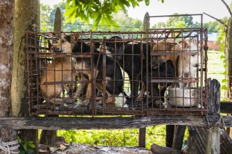 Dogs in a tiny cage await to be slaughtered in Siem Reap, Cambodia.