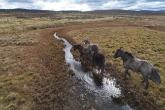 On the way out?: Feral horses damaging the waterways along the Eucumbene River north of Kiandra in June 2020.