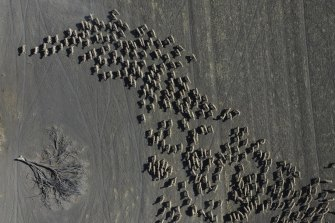 Mustering of sheep in a paddock of a failed wheat crop at Rebecca and Dan Reardon's property near Moree, NSW, which has been affected by years of drought.