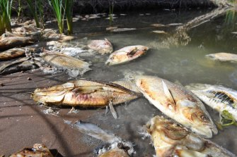 Carcasses after the second of three mass fish kill events in the Darling River at Menindee in January 2019.