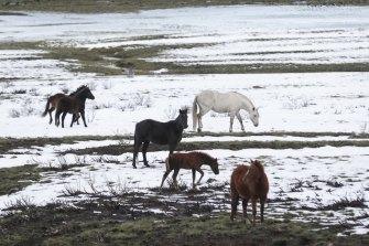 Brumbies graze in the Snowy Mountains near Kiandra.