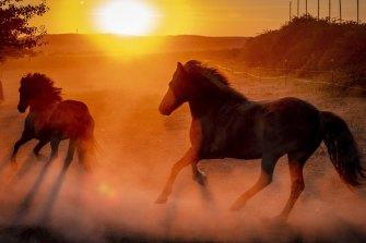 Iceland horses raise dust in Wehrheim near Frankfurt, Germany, during last year's heat wave.