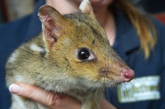 Eastern quolls will be among the species to be released into a new feral-free zone in Sydney's west.