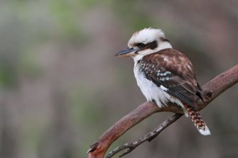 There are fewer birds and the sound of the kookaburras laughing at us in the early morning has gone.