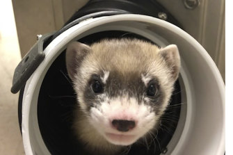 Elizabeth Ann, the first cloned black-footed ferret and first cloned US endangered species.