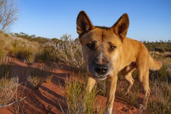 A dingo photographed in outback Western Australia.