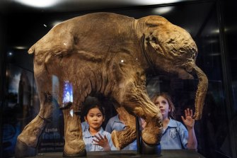 The best preserved mammoth ever found, a 42,000-year-old baby named Lyuba, was shown at an exhibition at the Australian Museum in Sydney in 2017.