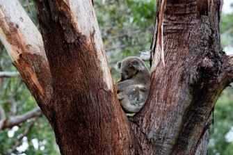 One of the koalas in the Port Stephens Koala Sanctuary. A new planning policy aimed at protecting koala habitat needs signoff from a key regional NSW bureaucrat in some case.