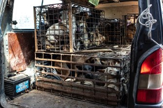 Dogs in cages in the back of a van in Cambodia.