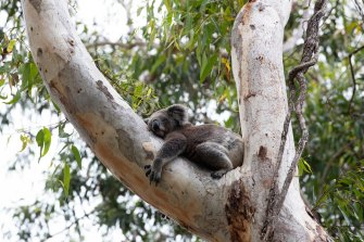One of the koalas in the Port Stephens Koala Sanctuary. The next threat may come from increased clearing of forests on private land.