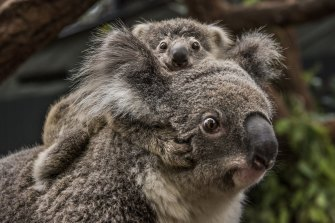 The Berejiklian government came close to splitting over the koala planning policy last year. A new deal has been thrashed out between Planning Minister Rob Stokes and John Barilaro, the Deputy Premier and head of the Nationals.
