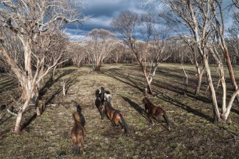 Feral horses on Long Plain in the Kosciuszko National Park.