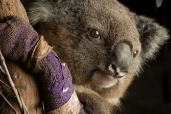 One of the lucky ones: a female koala recovers at the Native Wildlife Rescue Centre in Robertson, eastern NSW.