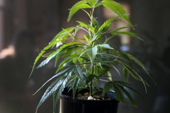 The study will be funded by Australian pharmaceutical development company Incannex Healthcare, which is also developing medicinal cannabis treatments for conditions including traumatic brain injury.