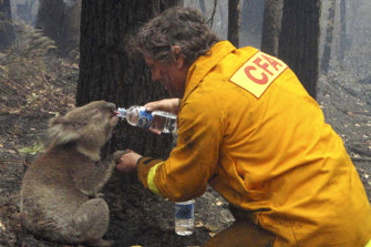 In this iconic image from the Black Saturday bushfires in 2009, firefighter David Tree shares his water with an injured koala rescued from the scene, later nicknamed Sam.