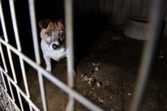 A dog found at a puppy farm in conditions rife with disease.