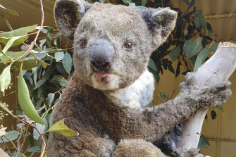 A rescued koala injured at the Kangaroo Island Wildlife Park.