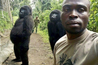 Mathieu Shamavu, a ranger and caretaker poses for a photo with female orphaned gorillas Ndakasi, left, and Ndeze, centre, at the Senkwekwe Centre for Orphaned Mountain Gorillas in Virunga National Park, in the DRC in 2019.