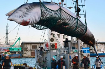 A minke whale is unloaded at a port in Kushiro in 2017 after a scientific whaling expedition.