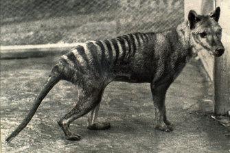 The last Tasmanian tiger, Benjamin, died in a Hobart zoo in 1936 from exposure.