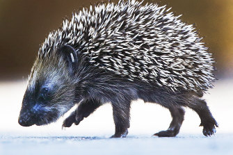 A hedgehog baby strolls on a street in Frankfurt, Germany.