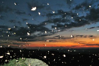 Bogong moths fill the night sky in the Brindabellas near Yass in NSW.