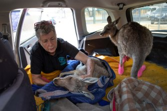 Wildlife caregiver Rosemary Austen adjusts a sedated fire-burnt kangaroo after a visit to the veterinarian in February in NSW.